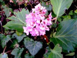 Bergenia en fleurs
