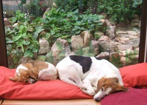 Mes deux anges Beagle Zozinette et BigMa que j'ai tant aimées.