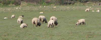 moutons O