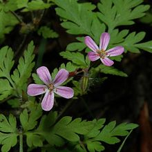 220px-Geranium_robertianum1003