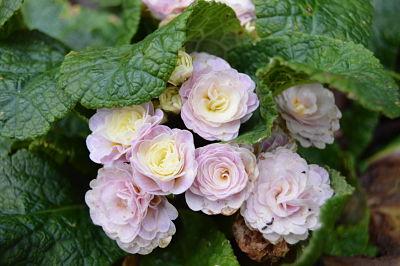 Primevères doubles du jardin refleuries en novembre.