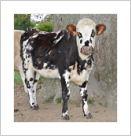 vache O