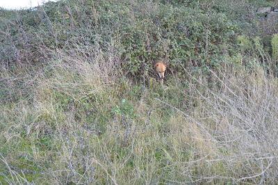 Faux renard apprivoisé, c'est Brouky le curieux.