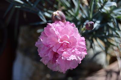 Œillet rose à la subtile fragrance
