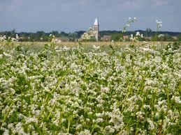 Le sarrasin ou blé noir était très utilisé dans la confection des galettes quotidiennement mangées à la table des paysans.