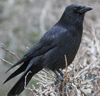 Corneille noire Corvus corone Carrion Crow