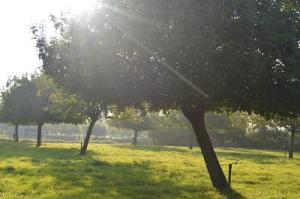 Le soleil matinal joue à travers les pommiers de Maurice.