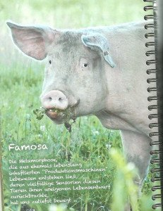 Famosa, extirpée d'une ferme de production intensive de porcs pour engraissement.