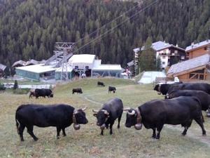 Sur la pente herbue tout près du chalet, le troupeau des vaches villageoises, entre la désalpe et l'étable pour l'hiver.